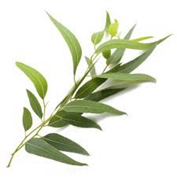 Eucalyptus Radiata
